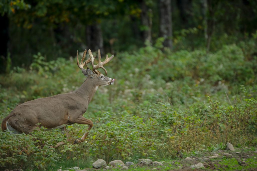 The Wilderness Reserve Whitetail Deer