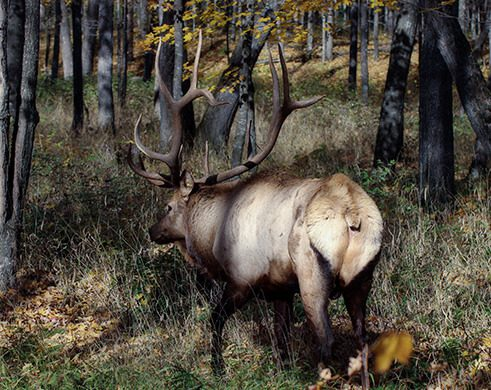 Benefits of preserve hunting elk