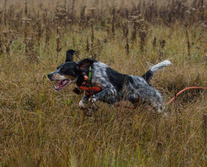 Hunting Dog Training at The Wilderness Reserve
