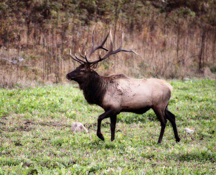Rocky Mountain Elk Hunting
