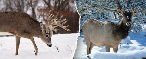Trophy whitetail buck and elk combo hunting trip