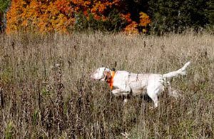 Preserve hunting Wisconsin pheasant